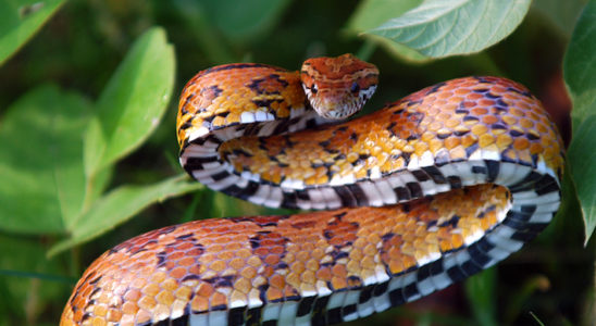 L'hibernation est indispensable au serpent des blés. Photo : K. Chesson - Fotolia