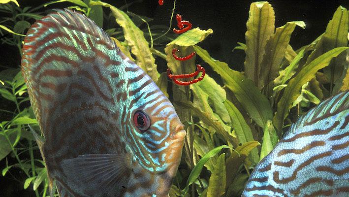 Les aliments congelés représentent une solution non negligeable pour nourrir Symphysodon spp. Notez qu'il est raisonnable de réserver les vers de vase comme friandise, cet aliment étant très riche ! Photo : Aqua Press