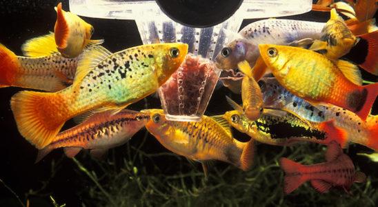 Les tubifex sont des vers très fins qui forment des colonies denses. Ils vivent au fond des mares. Le marché aquariophile les propose en barquettes prêtes à l'emploi, comme la plupart des vers et crustacés d'eau douce. Photo : Aqua Press
