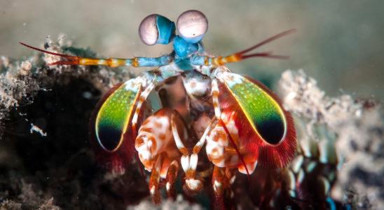 Une crevette mante - Odontodactylus scyllarus - Ses yeux proéminents, globuleux, pédonculés et orientables indépendamment lui offrent la vue la plus perfectionnée et détaillée du monde animal et lui permettent d'évaluer avec précision la distance qui la sépare de sa proie. Photo : fenkieandreas