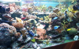 Un aquarium moderne comporte une cuve principale et généralement une ou plusieurs cuves annexes reliées les unes aux autres par un circuit d'eau… efficace ! Photo : Hervé Rousseau