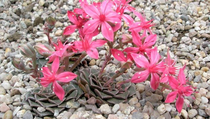 Tacitus bellus est une plante en rosette des hautes montagnes du Mexique. Elle fleurit très régulièrement et ses inflorescences roses sont du plus bel effet. Photo : A. Bour - Conservatoire et Jardins Botaniques de Nancy