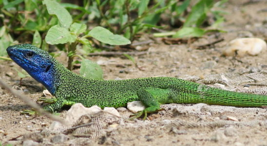 "Lacerta bilineata porte dorénavant le nom commun de ""lézard à deux raies"". Photo : Dule"