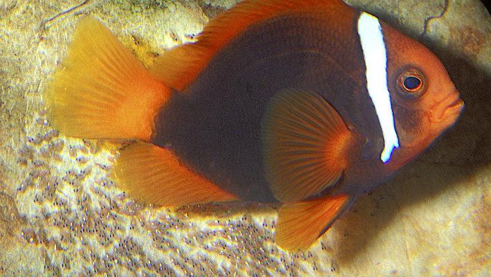 Un Amphiprion frenatus mâle, en train de garder et de ventiler une ponte. La reproduction de cette espèce est accessible aux amateurs. Photo : Aqua Press