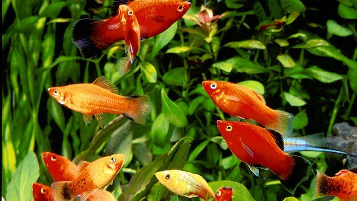 Xiphophorus maculatus, X. variatus et X. helleri sont les espèces généralement disponibles en animalerie. D'autres espèces plus discrètes complètent originalement le genre. Photo : Aqua Press