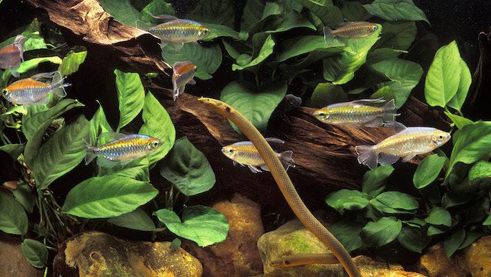 Un aquarium africain du bassin du Congo peut prendre de nombreux aspects grâce à la grande diversité de la faune et la flore disponibles. Avec Phenacogrammus interruptus et Erpetoichthys calabaricus comme espèces-phares, un aquarium-biotope original peut être envisagé. Photo : Aqua Press