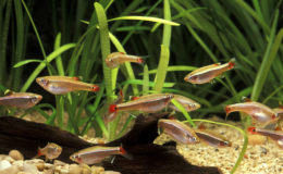Tanichthys albonubes est une espèce robuste qui peut s'adapter à des aquariums modestes d'une petite centaine de litres. Photo : Aqua Press