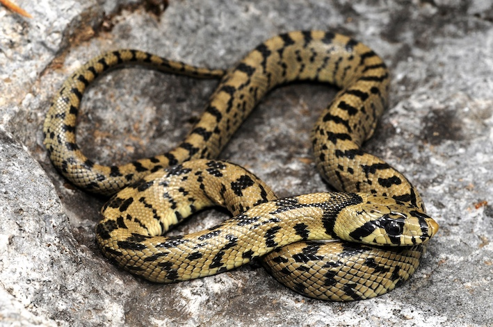 Les juvéniles sont très marqués, plus jaunes, avec des taches noires en forme de H sur le dos donnant l'aspect d'une échelle caractéristique qui est à l'origine du nom donné à l'espèce. Photo : Benny Trapp, licence CC BY 3.0