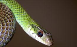 Drymobius margaritiferus est un serpent batracophage et occasionnellement piscivore. Photo : Rémy Ksas