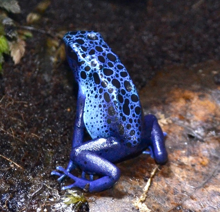 Dendrobates tinctorius azureus. Photo : Philippe Royer