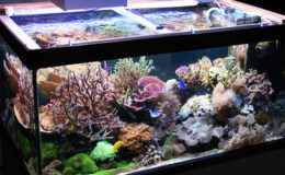 La fascination qu'entretient l'aquariophilie marine est généralement liée aux couleurs extraordinaires qu'offrent les coraux de toutes espèces ! Photo : Florian Lesage
