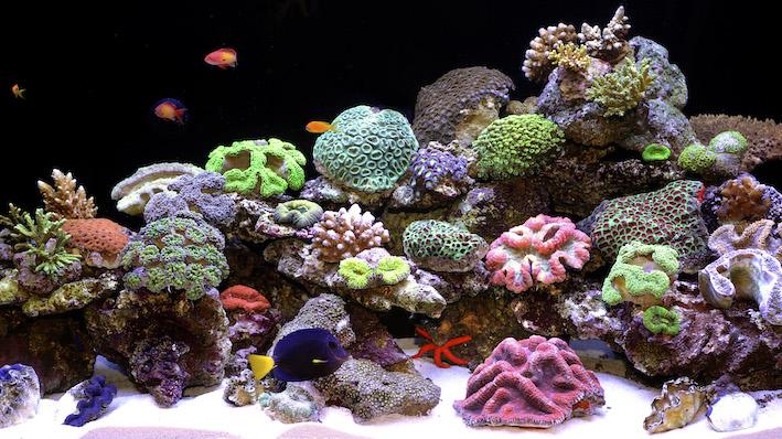 Les aquariophilies ont compris depuis longtemps maintenant que l'alimentation des poissons marins tropicaux doit contenir une part végétale conséquente, afin de les faire prospérer pendant de longues années. Photo : Aqua Press