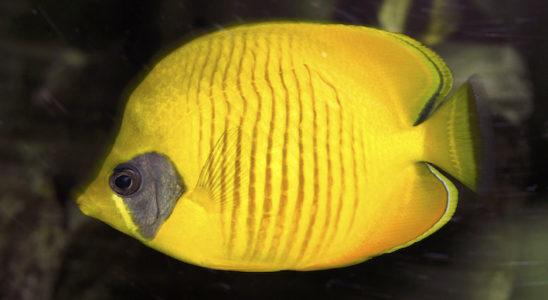 Chaetodon semilarvatus est très majoritairement corallivore et attend le coucher du soleil pour rechercher sa nourriture. Photo : Aqua Press