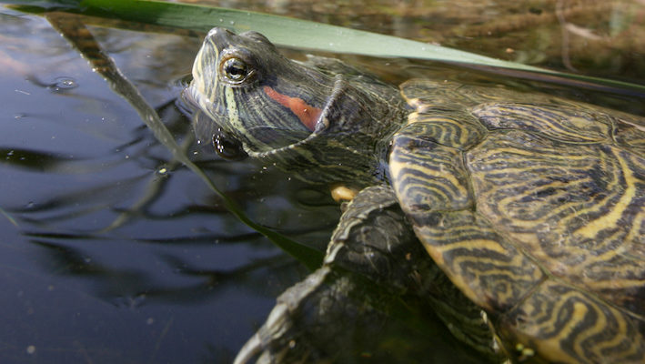 La tortue de Floride est aujourd'hui présente dans l'ensemble des hydrosystèmes français. Photo : Olivier Born