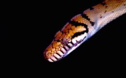 Chez le Python améthyse, la tête est nettement démarquée du corps. Photo : Nathanaël Maury