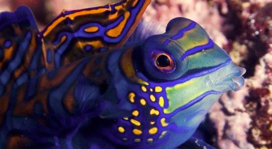 Synchiropus splendidus, un des mandarins le plus courant dans les aquariums des amateurs. Photo : Sabine Penisson