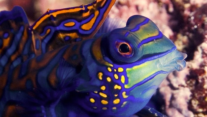 Synchiropus splendidus, un des mandarins le plus courant dans les aquariums des amateurs. Photo : Sabine Penisson