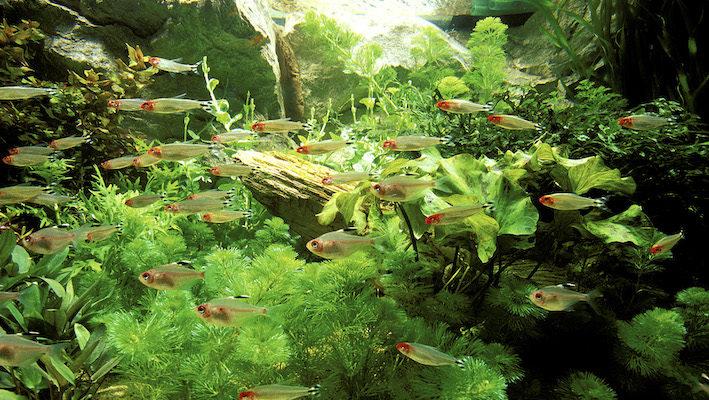 L'aquarium sud-américain accueillant des Characidés est décoré de plantes luxuriantes et de racines immergées. Hemigrammus bleheri ajoute des couleurs complémentaires et du dynamisme à ce tableau ! Photo : Aqua Press