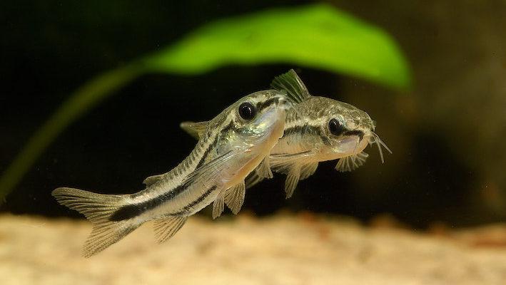 Corydoras pygmaeus est certainement l'espèce « naine » la plus courante. Photo : Aqua Press