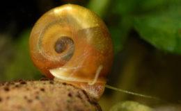 La forme rouge du planorbe (Planorbarius corneus) est très décorative et populaire. Elle est couramment vendue dans le commerce aquariophile et donc aisément disponible. Photo : Aqua Press