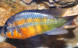 Haplochromis sauvagei Mwanza male dominant. Photo : Mickaël Negrini
