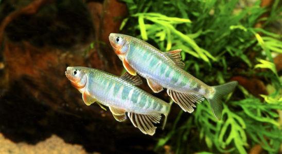 Les Cyprinidés sont très loin de se limiter aux seuls carassins et carpes. La preuve, voici le zacco (Zacco platypus), une magnifique espèce originaire du nord de la Chine et du Vietnam et qui n'a rien à envier aux autres poissons de bassins. Photo : Aqua Press