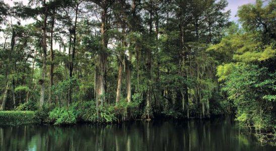 Le cyprès chauve (Taxodium distichum), ici dans les Everglades en Floride, est typique des marécages du Sud-Est des U.S.A., depuis la Caroline du Nord jusqu'à la Louisiane. Il ne convient qu'aux très grandes installations. Photo : Aqua Press