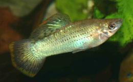 Le Poecilia mexicana, originaire de San Marcos (Mexique), est un poisson qui mérite d'être plus représenté dans les aquariums des amateurs ! Photo : Jacques Blanc