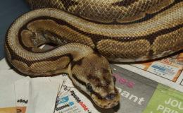 Les pythons royaux de la phase « Spider » sont systématiquement atteints d'ataxie (« stargazing »). Photo : G. Allain