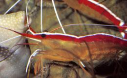 Lysmata amboinensis est une bonne candidate pour la maintenance et la reproduction en aquarium. Photo : Aqua Press