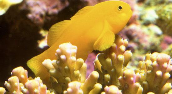 Gobiodon okinawae a tendance à évoluer en couple dans la nature. Photo : Aqua Press