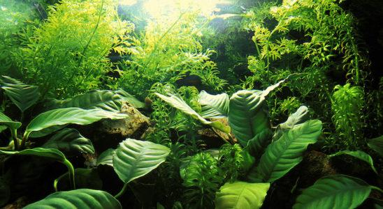 Dans l'aquarium, on place les plantes selon des strates qui correspondent à leurs besoins en lumière : par exemple, les Anubias spp. du premier plan se développent dans la pénombre si nécessaire. Photo : Aqua Press