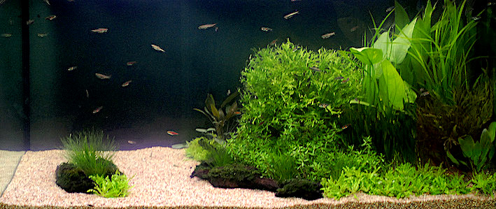 L'harmonie visuelle et l'équilibre écologique durable dépendent pour l'essentiel d'un projet de peuplement adapté aux proportions de l'aquarium et à son décor. Photo : Aqua Press