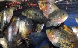 L'alimentation inerte a contribué à l'expansion de l'aquariophilie. Des générations de poissons d'aquarium en bénéficient depuis des décennies. Photo : Aqua Press