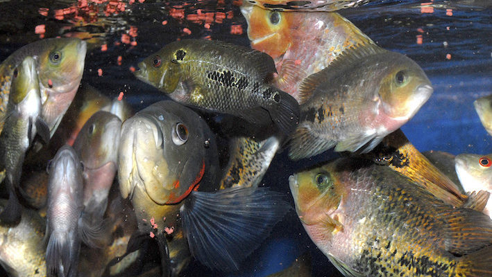 L'alimentation inerte a contribué à l'expansion de l'aquariophilie. Des générations de poissons d'aquarium en bénéficient depuis des décennies. Photo : Aqua Press