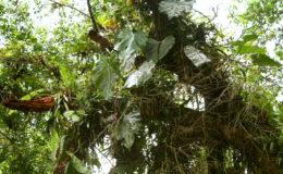 Dans la forêt tropicale, les grands arbres portent parfois des dizaines d'épiphytes. Photo : G. Allain