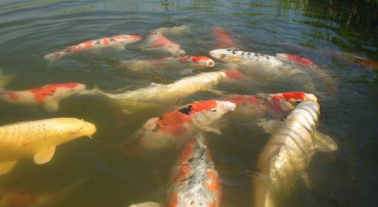 La couleur de l'eau ne suffit certainement à savoir si un milieu est idéal à la vie des poissons. Mieux vaut compter sur divers tests pour s'assurer des bons paramètres, tous disponibles dans n'importe quel magasin spécialisé ou animalerie / jardinerie qui compte un rayon « bassin ». Photo : Aqua Press / Les Jardins Aquatiques
