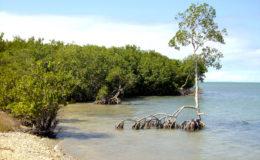 La mangrove se développe sur le littoral tropical dans des zones calmes. Les arbres tolèrent très bien la salinité des eaux saumâtres et marines. Les palétuviers rouges s'isolent du sel grâce à leurs racines imperméables. Photo : Gireg Allain
