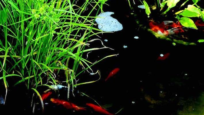 Dès le printemps, et à l'instar de nombreux autres animaux sous nos latitudes, les poissons rouges (Carassius auratus var.) sont en période de frai. Toutefois, les ébats amoureux peuvent provoquer des blessures apparemment superficielles, mais qui peuvent être colonisées par divers agents pathogènes, telles les mycoses. Photo : Aqua Press