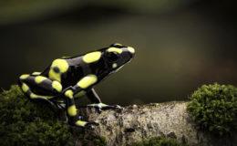 Dendrobates auratus, forme colombienne. Photo : kikkerdirk