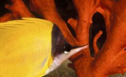 Forcipiger flavissimus est assez courant en boutique, puisqu'il est disponible dans de nombreuses zones de récif. C'est un poisson relativement facile à adapter à la vie en aquarium. Il faut noter que, dans la nature, il se déplace souvent par paire. Forcipiger flavissimus peut mesurer jusqu'à 16 cm ; il ne faut pas le confondre avec Forcipiger longirostris qui mesure jusqu'à 22 cm. Photo : Aqua Press