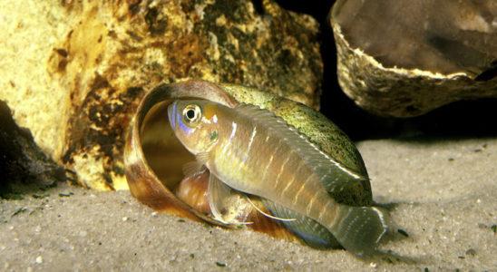 Neolamprologus brevis apprécie de rencontrer des coquilles vides de gastéropodes sur son territoire. Photo : Aqua Press