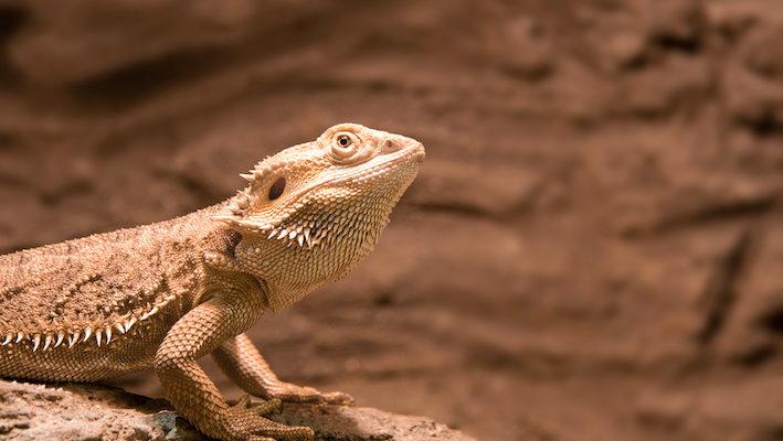 L'agame barbu est une figure emblématique de l'Australie. Photo : Cmman - Fotolia.
