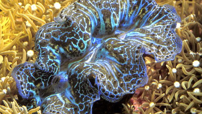 La photosynthèse des algues symbiotiques de nombreux invertébrés sessiles, comme ce bénitier, est vitale pour le métabolisme des hôtes des zooxanthelles. Photo : Aqua Press