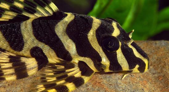 Peckoltia sp. L134 : un motif et des couleurs magnifiques le rendent très attractif. Photo : Aqua Press
