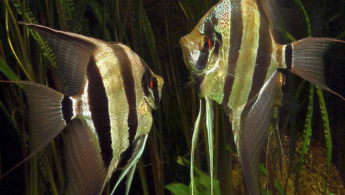 L'ensellure nasale et le corps particulièrement haut permettent de reconnaître Pterophyllum altum. Photo : Aqua Press