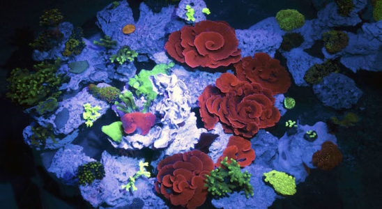 Bassin tropical avec coraux fluo - © M. Dagnino - Musée océanographique de Monaco