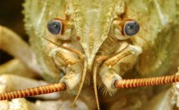 Les écrevisses peuvent se retrouver de manière tout à fait naturelle dans un cours d'eau ou un étang situé sur le terrain du propriétaire. Cependant, les espèces autochtones ne doivent pas être introduites en bassin car il est interdit de les prélever. Photo : Aqua Press
