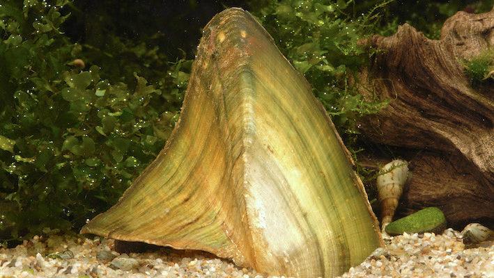 Hyriopsis bialatus