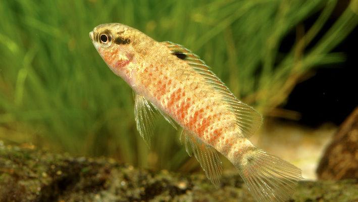 Badis sp. « Red Buxar » mâle.